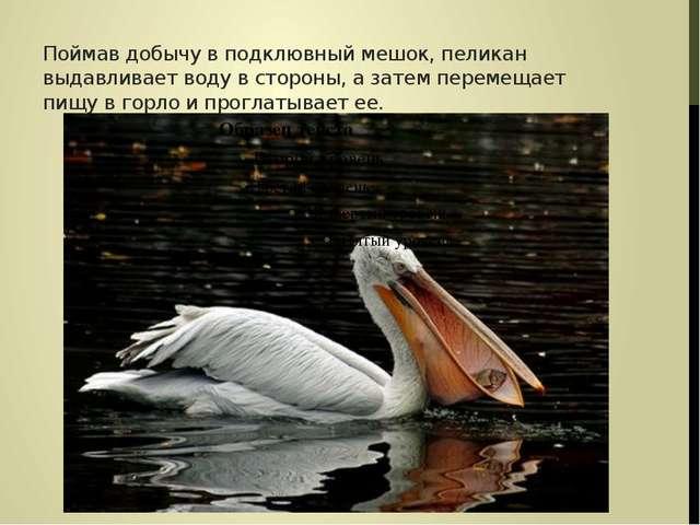 Поймав добычу в подклювный мешок, пеликан выдавливает воду в стороны, а затем...