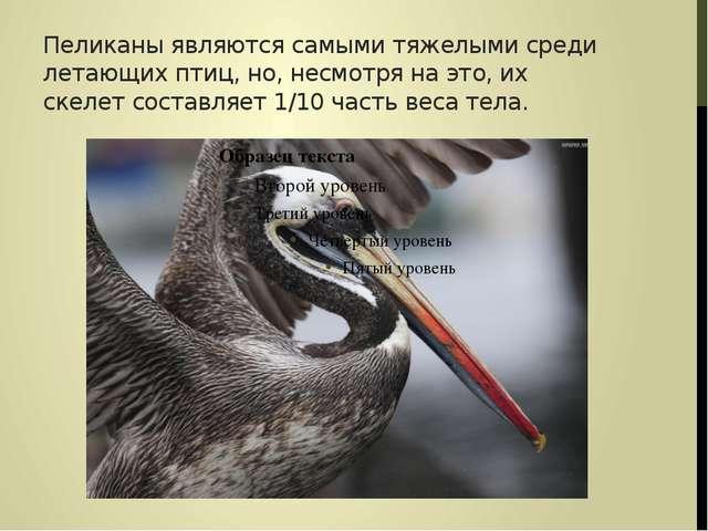 Пеликаны являются самыми тяжелыми среди летающих птиц, но, несмотря на это, и...