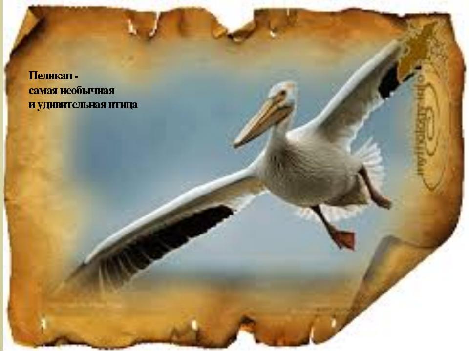 Пеликан - самая необычная и удивительная птица