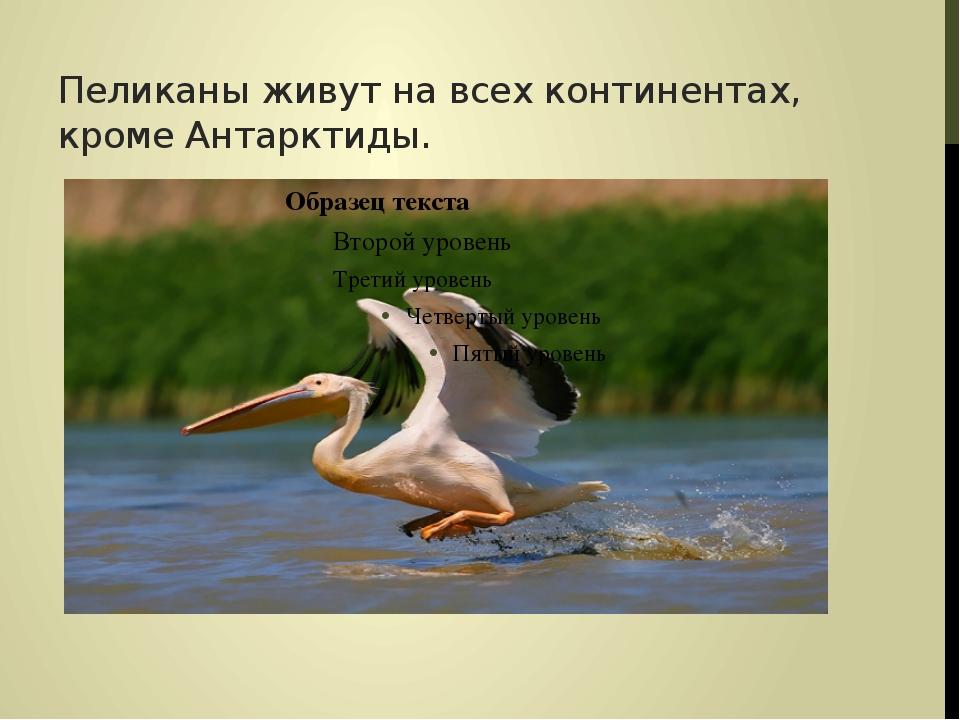 Пеликаны живут на всех континентах, кроме Антарктиды.