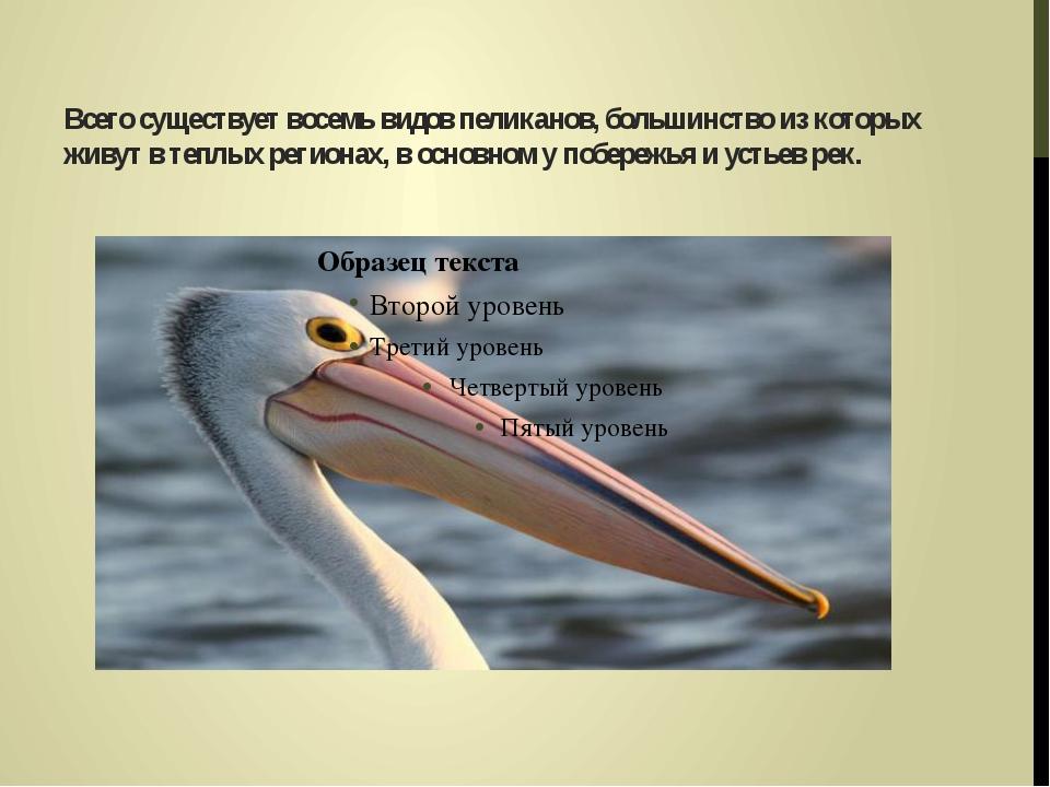 Всего существует восемь видов пеликанов, большинство из которых живут в теплы...