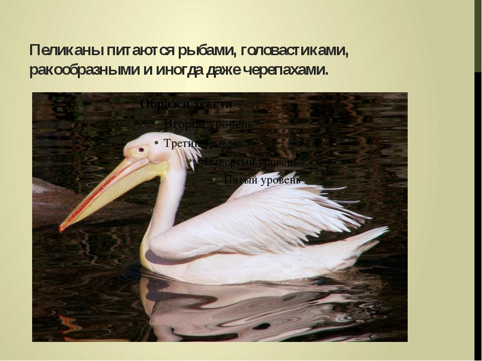 Пеликаны питаются рыбами, головастиками, ракообразными и иногда даже черепаха...