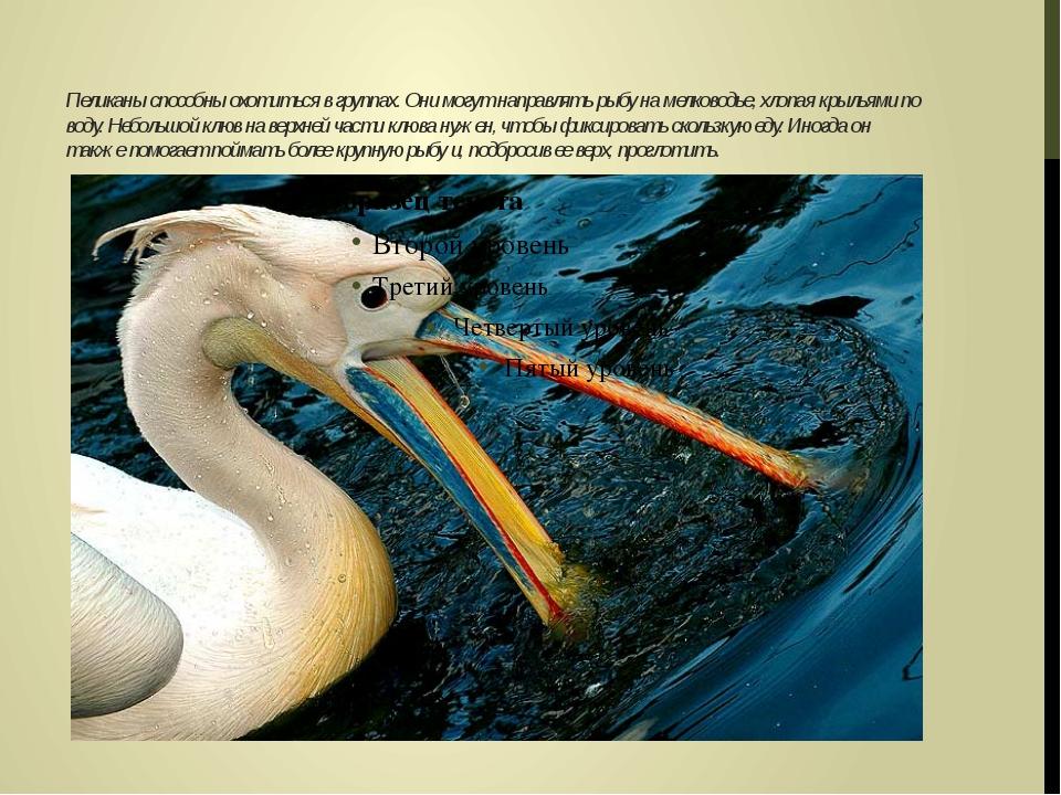 Пеликаны способны охотиться в группах. Они могут направлять рыбу на мелководь...
