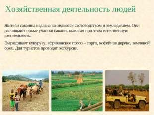Хозяйственная деятельность людей Жители саванны издавна занимаются скотоводст