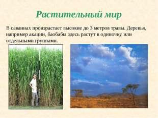 Растительный мир В саваннах произрастает высокие до 3 метров травы. Деревья,
