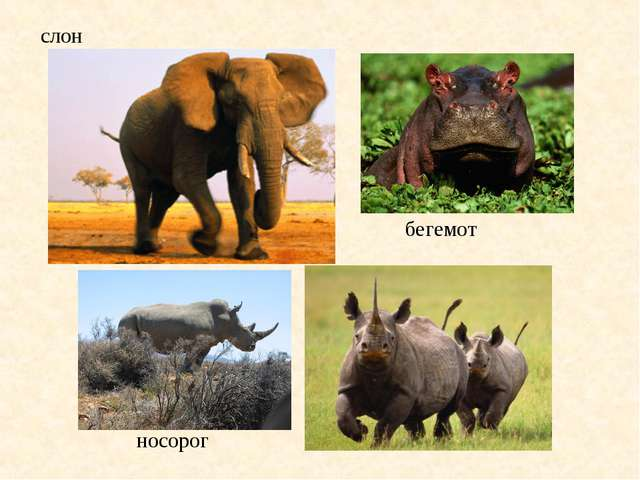 слон бегемот носорог
