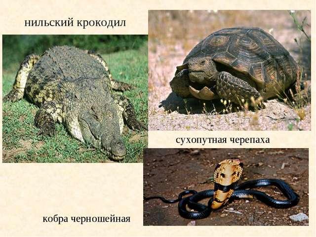 нильский крокодил сухопутная черепаха кобра черношейная