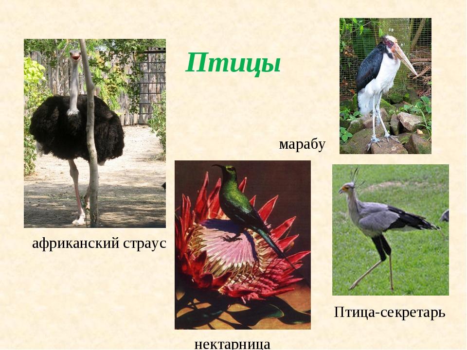 Птицы марабу нектарница африканский страус Птица-секретарь
