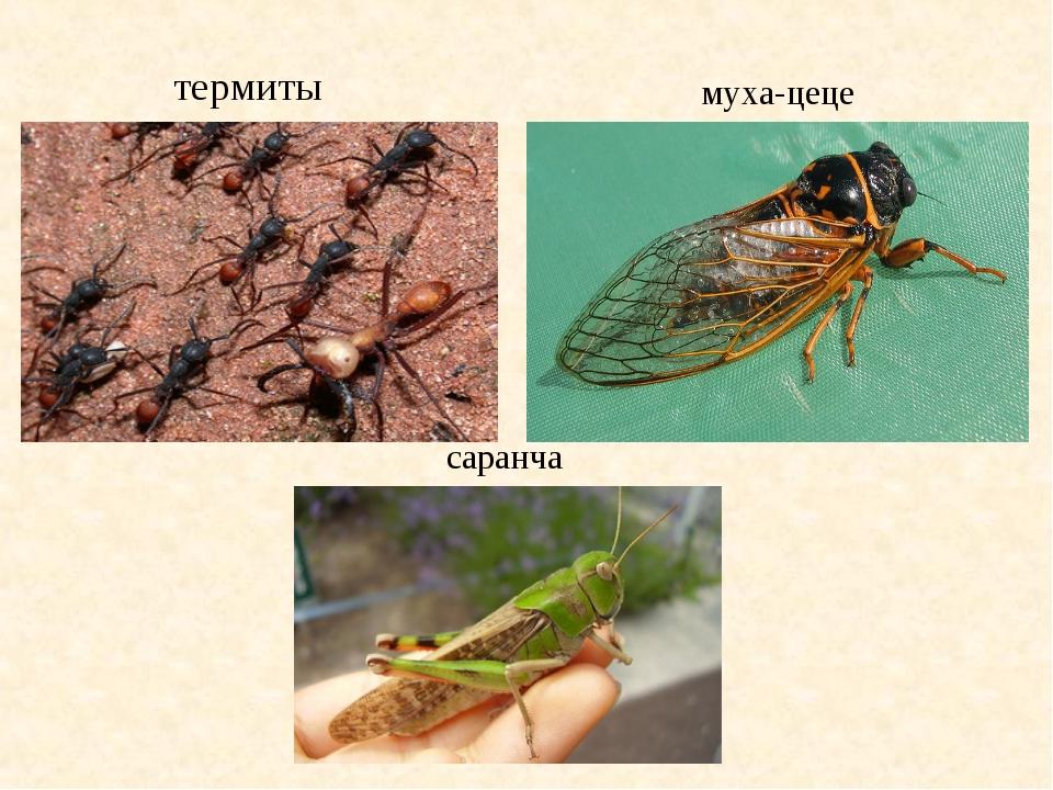термиты муха-цеце саранча