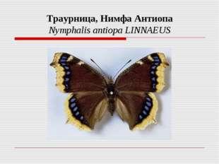 Траурница, Нимфа Антиопа Nymphalis antiopa LINNAEUS