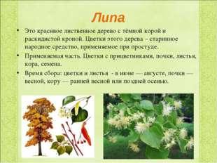 Липа Это красивое лиственное дерево с тёмной корой и раскидистой кроной. Цвет
