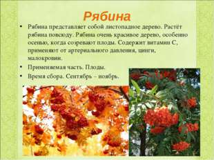 Рябина Рябина представляет собой листопадное дерево. Растёт рябина повсюду. Р