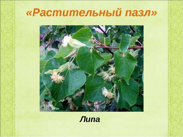 «Растительный пазл» Липа