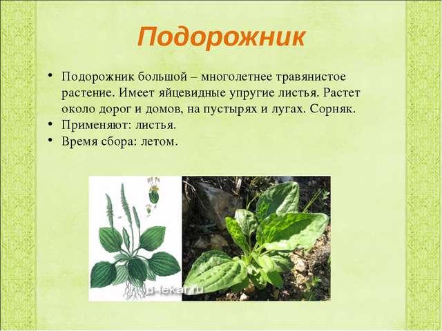 Подорожник Подорожник большой – многолетнее травянистое растение. Имеет яйцев...