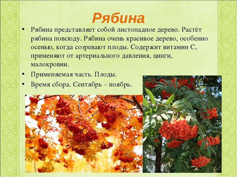 Рябина Рябина представляет собой листопадное дерево. Растёт рябина повсюду. Р...