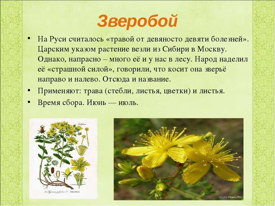 Зверобой На Руси считалось «травой от девяносто девяти болезней». Царским ука...
