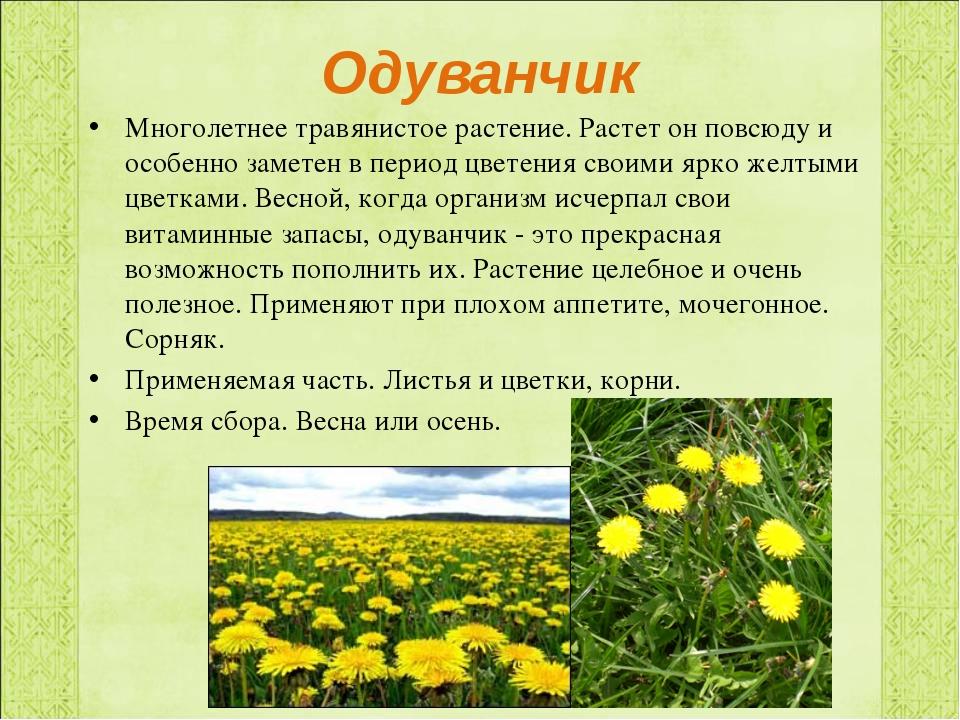 Одуванчик Многолетнее травянистое растение. Растет он повсюду и особенно заме...