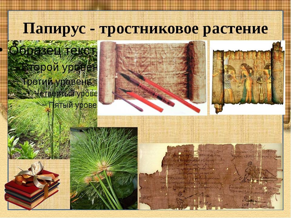 Папирус - тростниковое растение