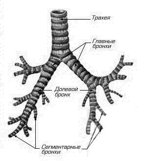 Строение трахеи и бронхи человека