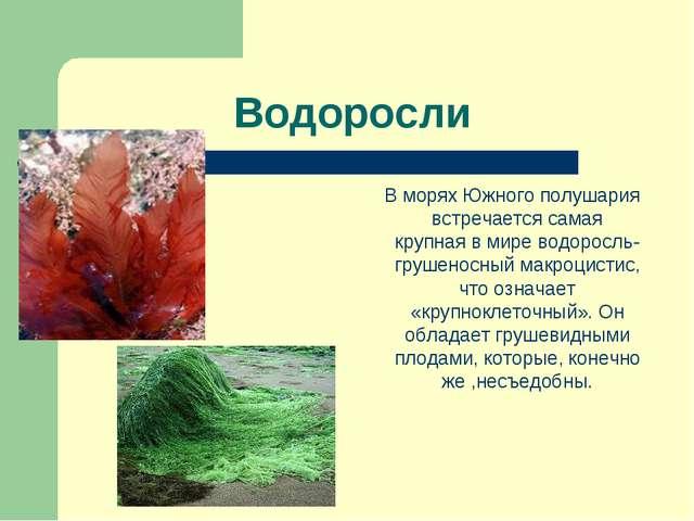 Водоросли В морях Южного полушария встречается самая крупная в мире водоросль...