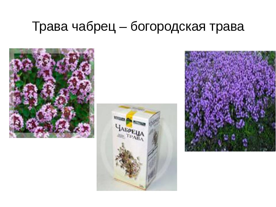Трава чабрец – богородская трава