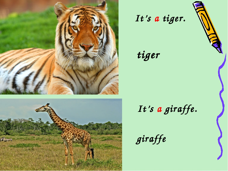 It's a tiger. tiger It's a giraffe. giraffe