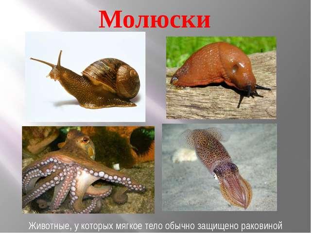 Молюски Животные, у которых мягкое тело обычно защищено раковиной