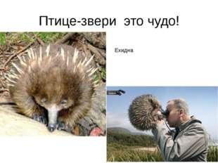 Птице-звери это чудо! Ехидна