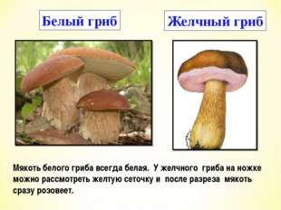 Белый гриб Желчный гриб Мякоть белого гриба всегда белая. У желчного гриба на