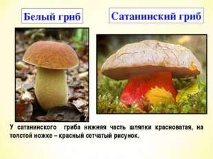 Белый гриб Сатанинский гриб У сатанинского гриба нижняя часть шляпки краснова