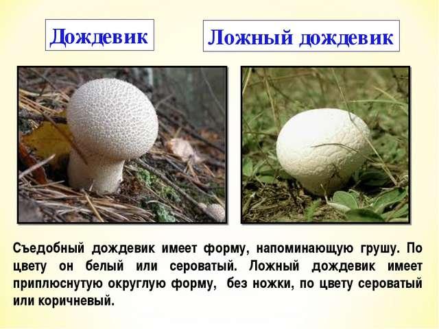 Дождевик Ложный дождевик Съедобный дождевик имеет форму, напоминающую грушу....