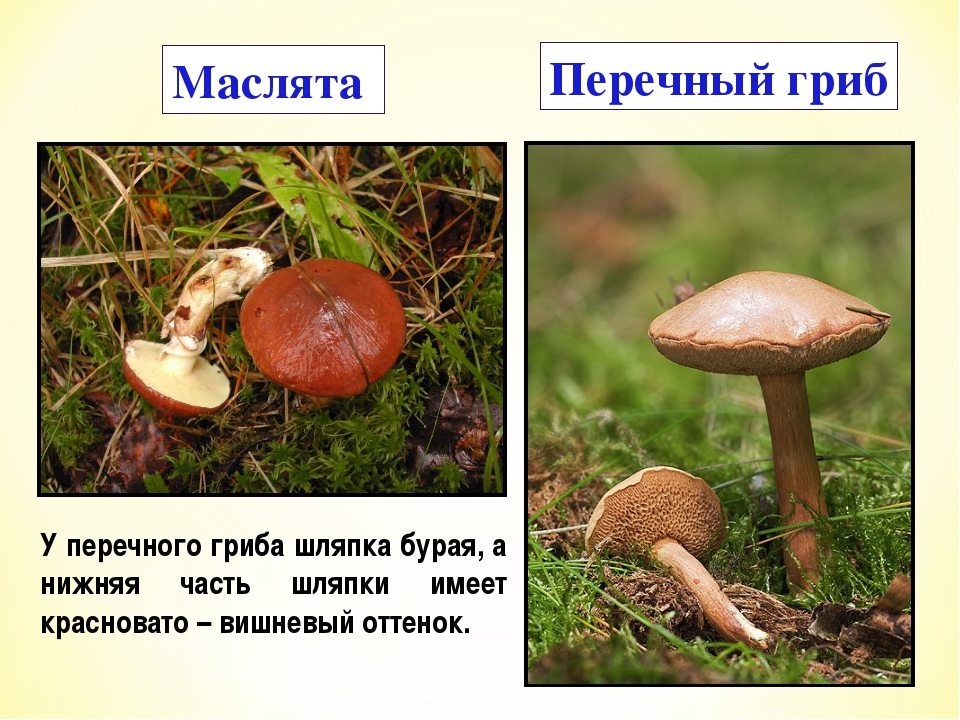 Маслята Перечный гриб У перечного гриба шляпка бурая, а нижняя часть шляпки и...