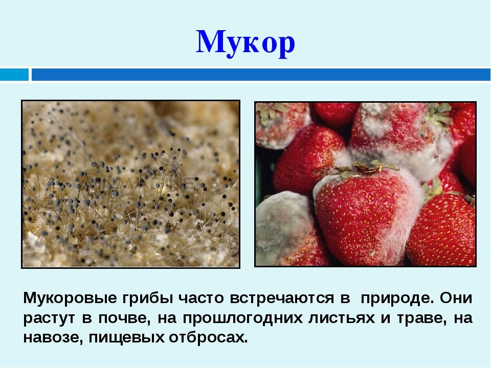 Мукор Мукоровые грибы часто встречаются в природе. Они растут в почве, на пр...