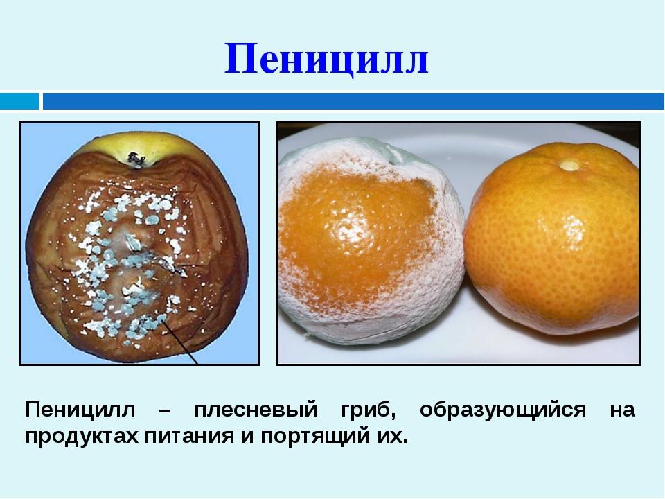 Пеницилл Пеницилл – плесневый гриб, образующийся на продуктах питания и портя...