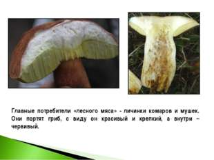 Главные потребители «лесного мяса» - личинки комаров и мушек. Они портят гриб