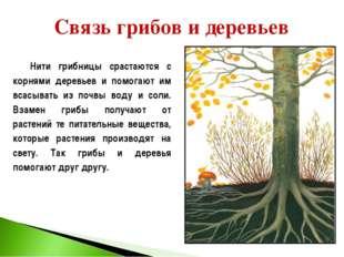 Нити грибницы срастаются с корнями деревьев и помогают им всасывать из почвы