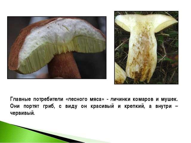 Главные потребители «лесного мяса» - личинки комаров и мушек. Они портят гриб...