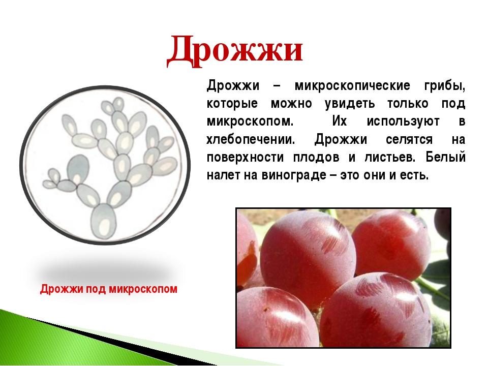 Дрожжи Дрожжи под микроскопом Дрожжи – микроскопические грибы, которые можно...