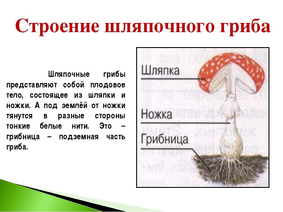 Строение шляпочного гриба Шляпочные грибы представляют собой плодовое тело, с...