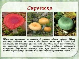 Сыроежка Шапочки сыроежек окрашены в разные цвета радуги. Цвет шляпки зависит