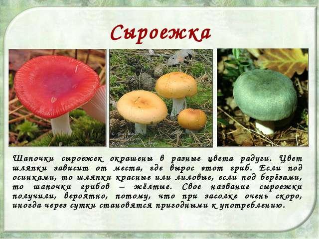 Сыроежка Шапочки сыроежек окрашены в разные цвета радуги. Цвет шляпки зависит...