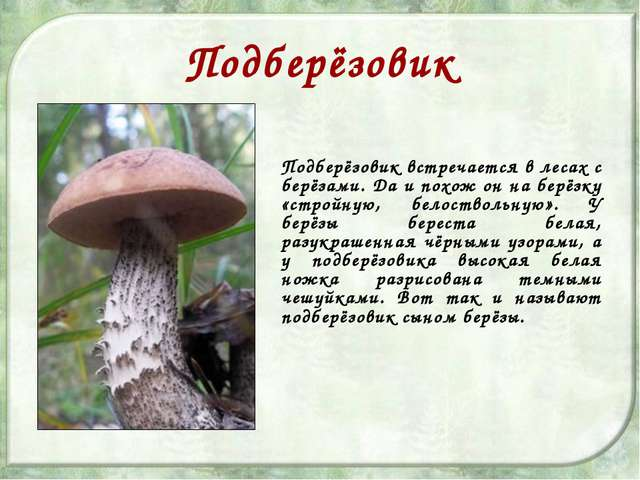 Подберёзовик Подберёзовик встречается в лесах с берёзами. Да и похож он на бе...