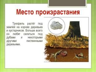 Место произрастания Трюфель растёт под землёй на корнях деревьев и кустарни