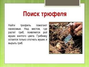 Поиск трюфеля Найти трюфель помогают насекомые. Над местом, где растет гриб,