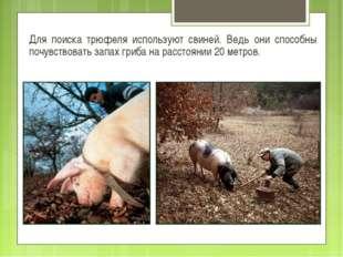 Для поиска трюфеля используют свиней. Ведь они способны почувствовать запах г