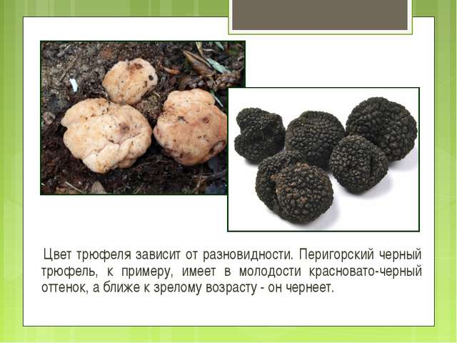 Цвет трюфеля зависит от разновидности. Перигорский черный трюфель, к примеру...
