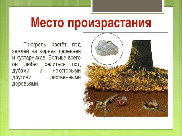 Место произрастания Трюфель растёт под землёй на корнях деревьев и кустарни...