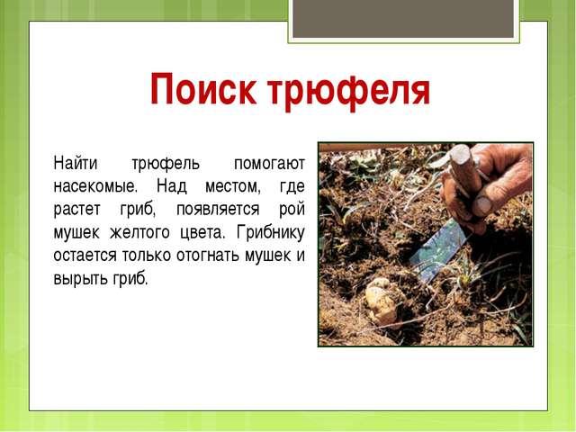 Поиск трюфеля Найти трюфель помогают насекомые. Над местом, где растет гриб,...