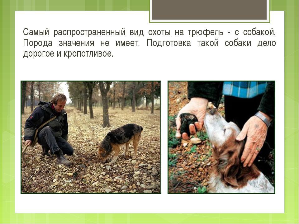 Самый распространенный вид охоты на трюфель - с собакой. Порода значения не и...