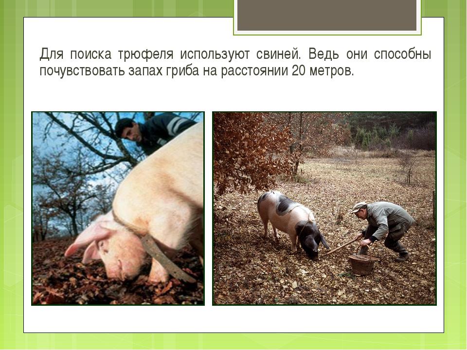Для поиска трюфеля используют свиней. Ведь они способны почувствовать запах г...